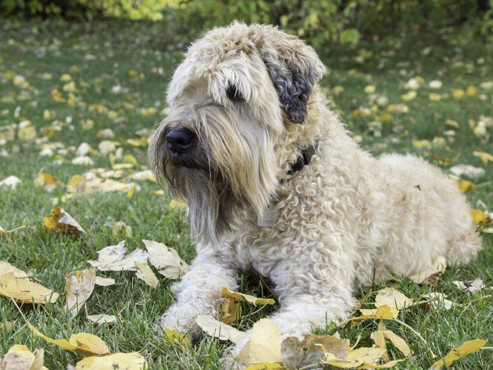 Породы собак, которые наиболее подходят людям с аллергией