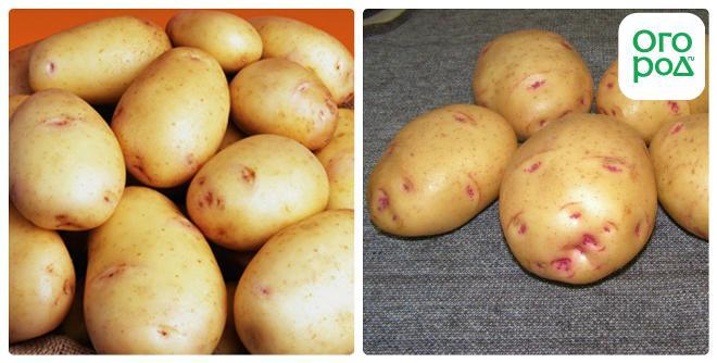 семена картофеля устойчивыйк жукам для ног БЕСПЛАТНОЙ