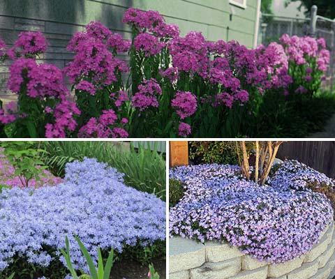 Флоксы - милые и неприхотливые цветы