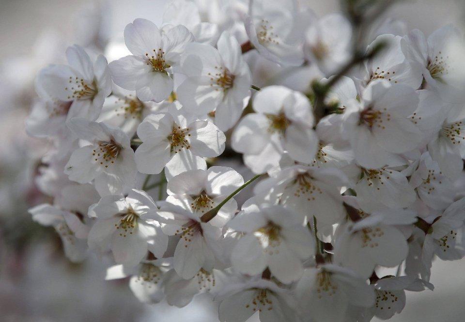 традиция любования цветущей сакурой-15