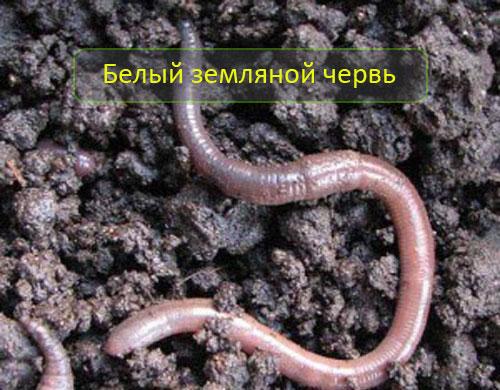 Белый земляной червь (выползок)