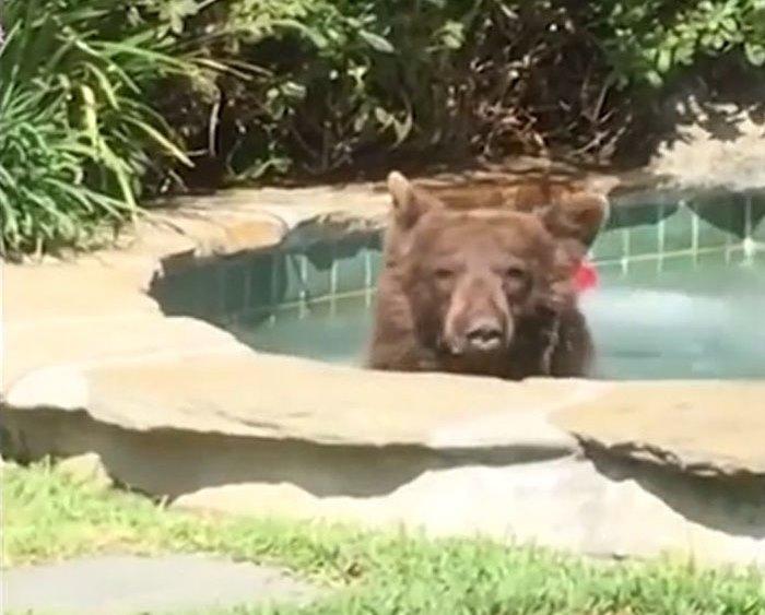 В Калифорнии медведь пришел …