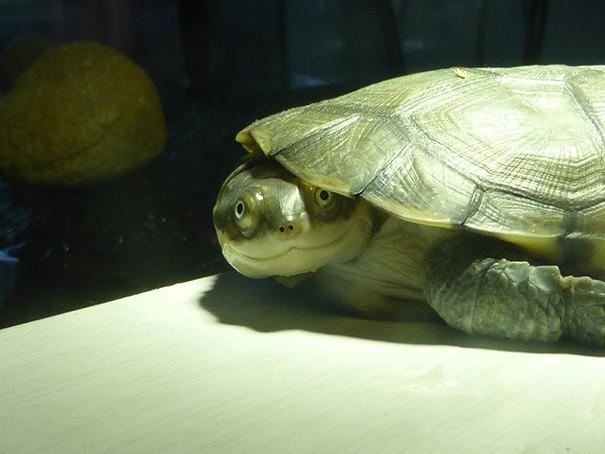 23. Черепаха, которая всегда улыбается ниндзя, питомцы, черепахи