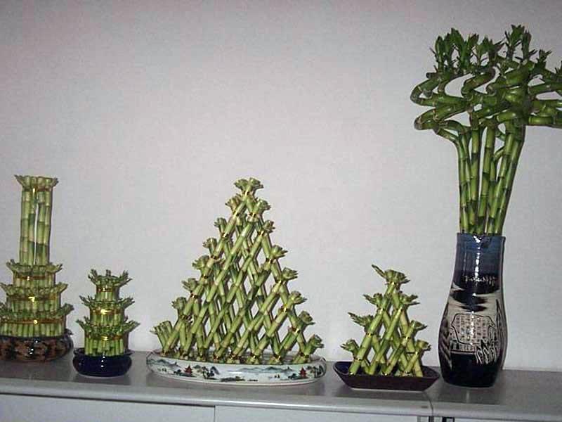 http://floristics.info/images/plants_photo/dracaena/dracaena_sanderiana.jpg