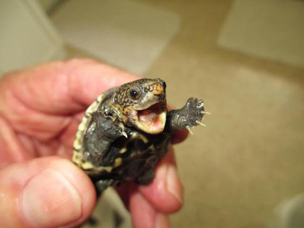 20. Малютка - мускусная черепаха ниндзя, питомцы, черепахи