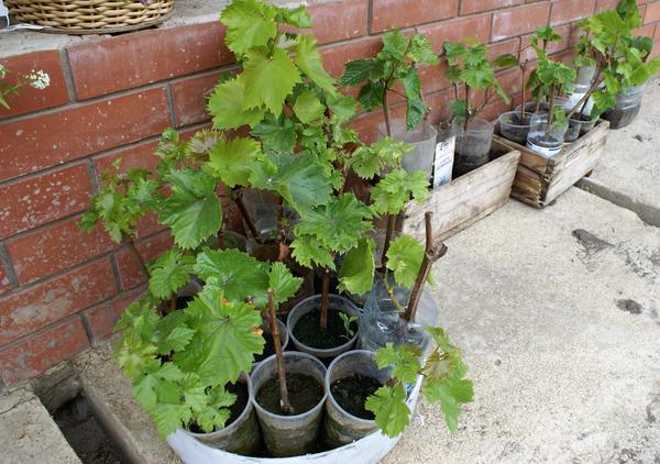 Саженцы винограда подготовлены к посадке на постоянное место