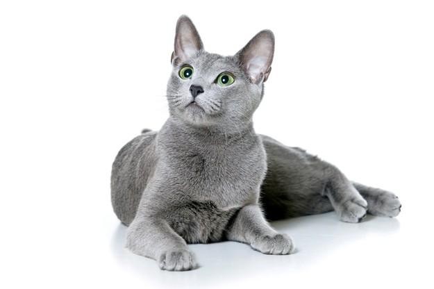 8. Русская голубая кошка животные, коты