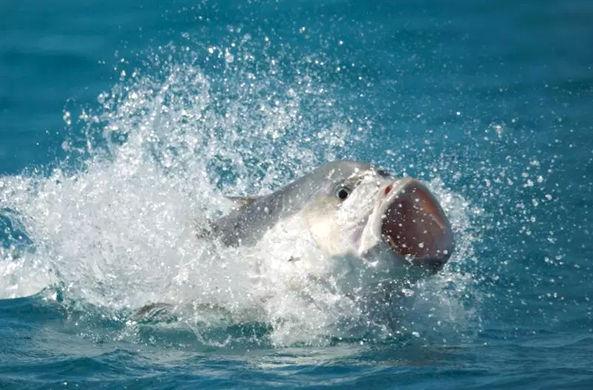 У Сейшельских островов засняли, как рыба поймала птицу
