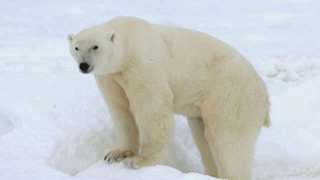 Отомстила : Белая медведица загрызла российского строителя в Арктике