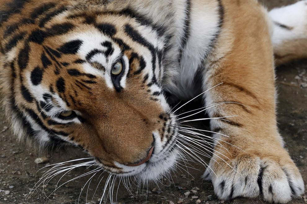 Юнона. 3-летняя тигрица в зоопарке Роев ручей в Красноярске, Россия. животные, жизнь, позитив, эмоции