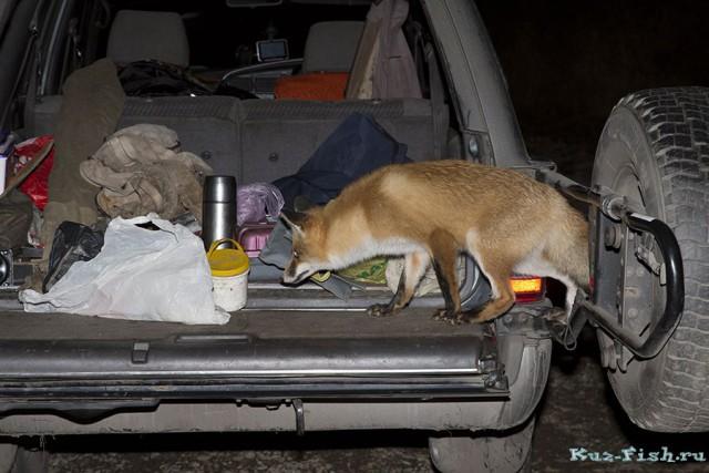 такой в конец обнаглевшей лисицы мне еще не приходилось видеть животные, лиса