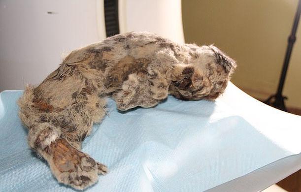Найденный пещерный львенок оказался неожиданного цвета
