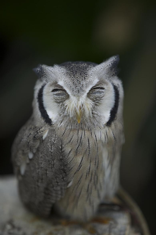 Фотография Sleeping Owl автор Hidenobu Suzuki на 500px