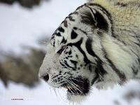 Белые тигры 10