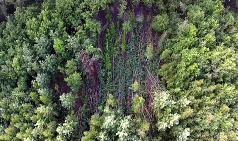 Под Челябинском гадают о причинах странного вывала леса