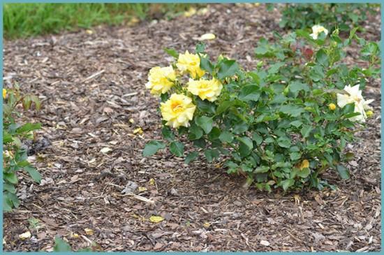 удобрение розы