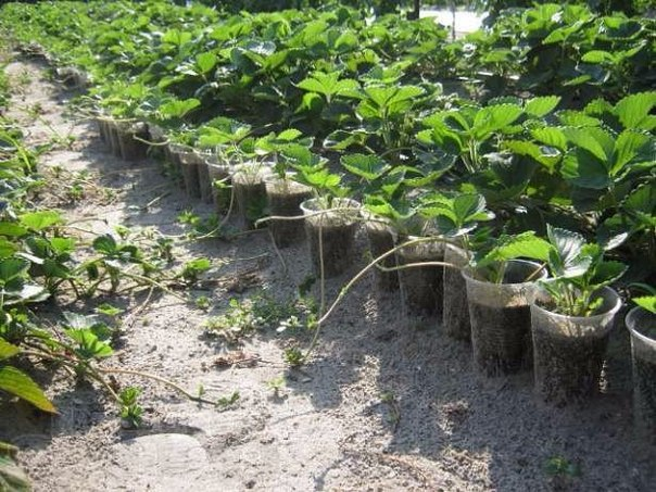 Как набрать посадочный материал земляники и в какие сроки его высаживать?