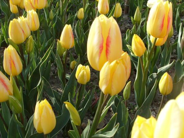 Тюльпан сорт Georgette