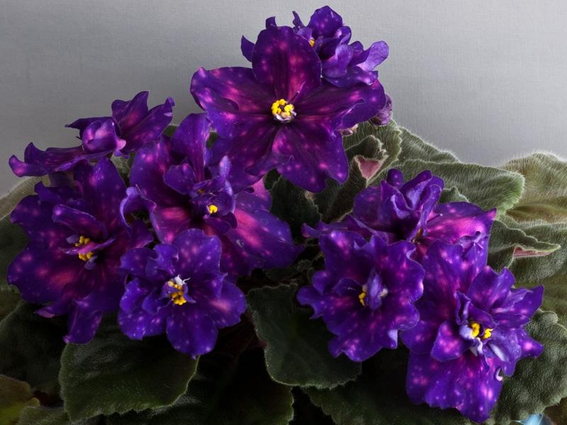 Dimetris.ru - Каталоги комнатных растений частных коллекционеров