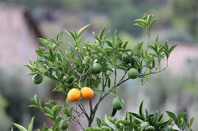 Апельсины, Апельсиновое Дерево, Цитрусовые, Лист