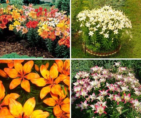 Лилии - превосходные многолетние цветы