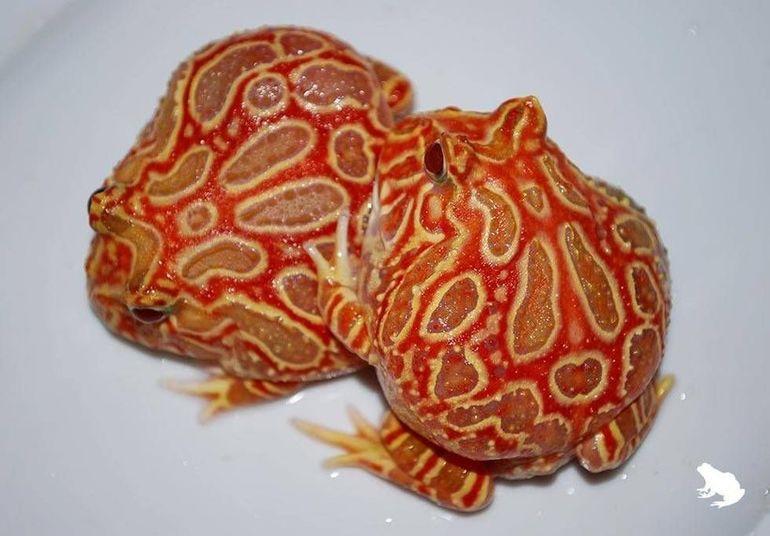 Клубнично-ананасовая лягушка-пакман (Strawberry pineapple pacman frog)