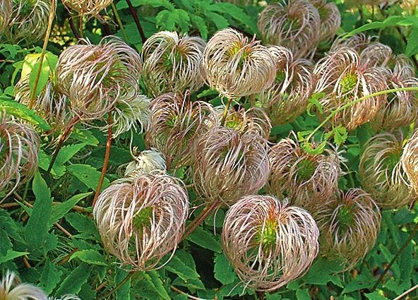 Симпатичные плоды-пушистики эффектно смотрятся не только в саду - они идеально подходят как дополнение в букетах и композициях из цветов и плодов других представителей флоры.