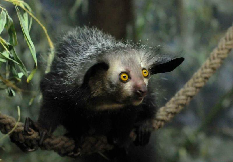 10. Мадагаскарская руконожка или «ай-ай» животные, миф