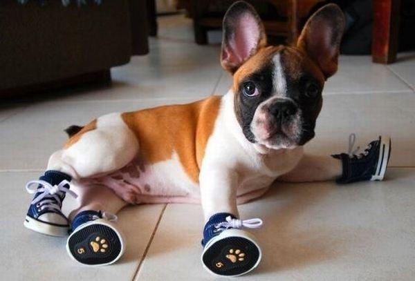 Собакам впервые одели зимнюю обувь: забавное видео
