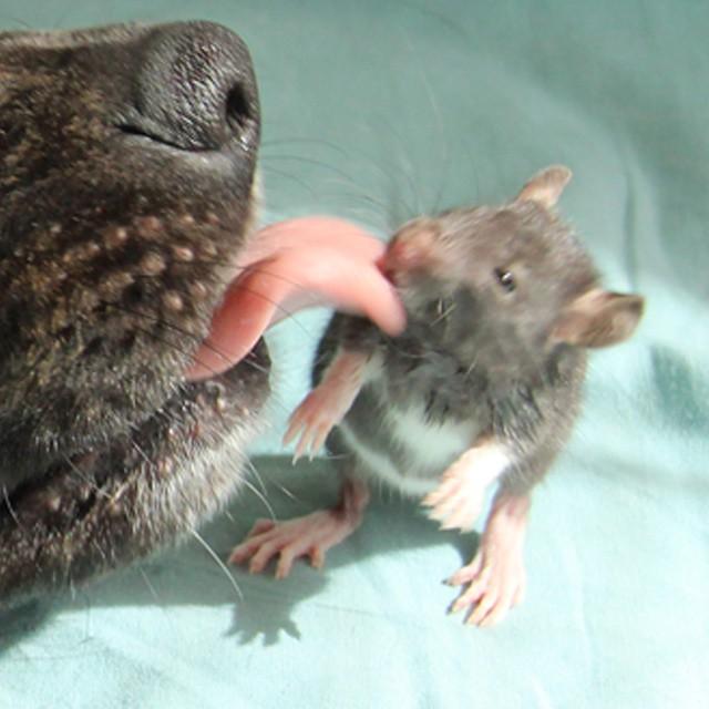 animal-friends-rat-dog-osiris-riff-5