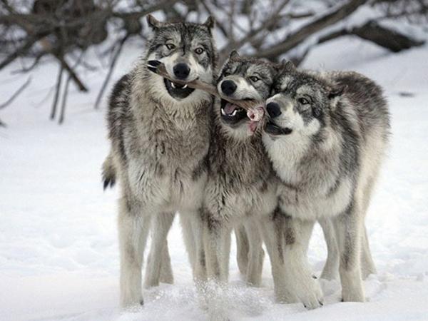 Охота на волка на приваде