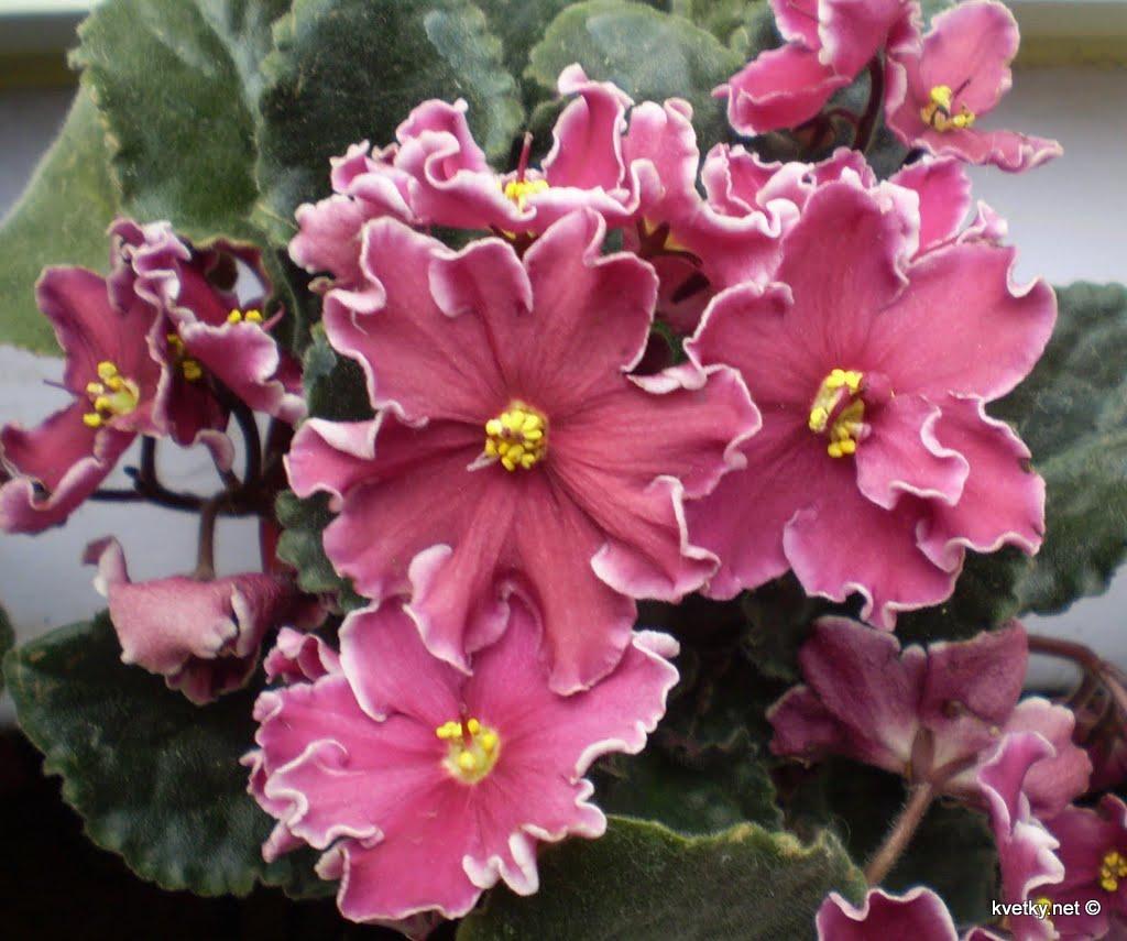 Узумбарская фиалка или сенполия. 10 комнатных растений, которые приносят счастье