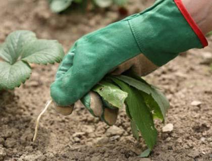 подготовка почвы к посадке картофеля под соломой