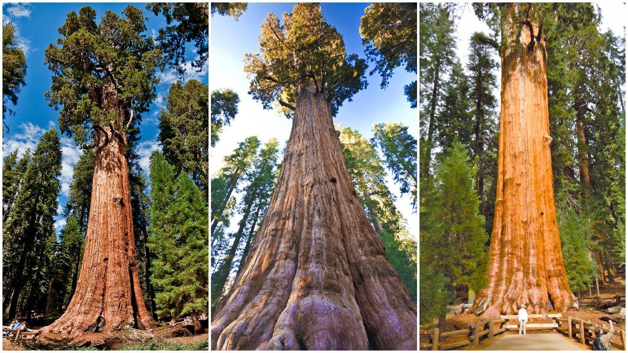 Самые большие деревья на земле