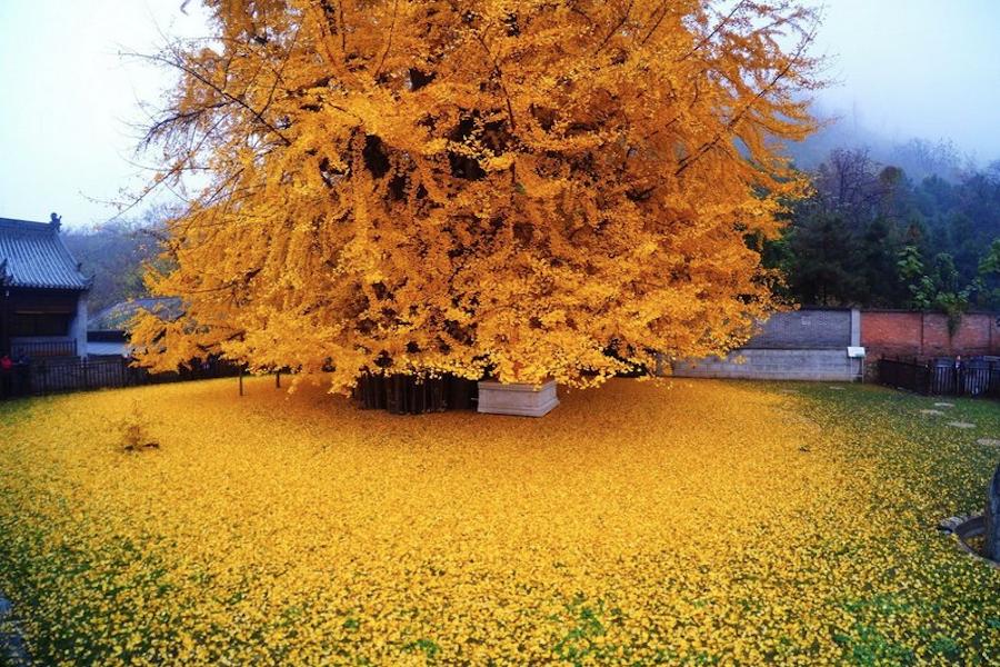 Дерево с историей в 250 млн лет - интересно