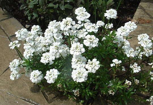 Иберис вечнозеленый Сноуфлейк - Иберис вечнозеленый Сноуфлейк - Иберис - Многолетние - Многолетники, однолетние, злаковые - Раст