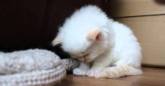 Уставший котенок засыпает на ходу. Такой милый и маленький!
