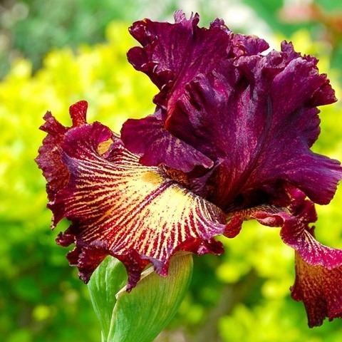 Iris17 (480x480, 87Kb)