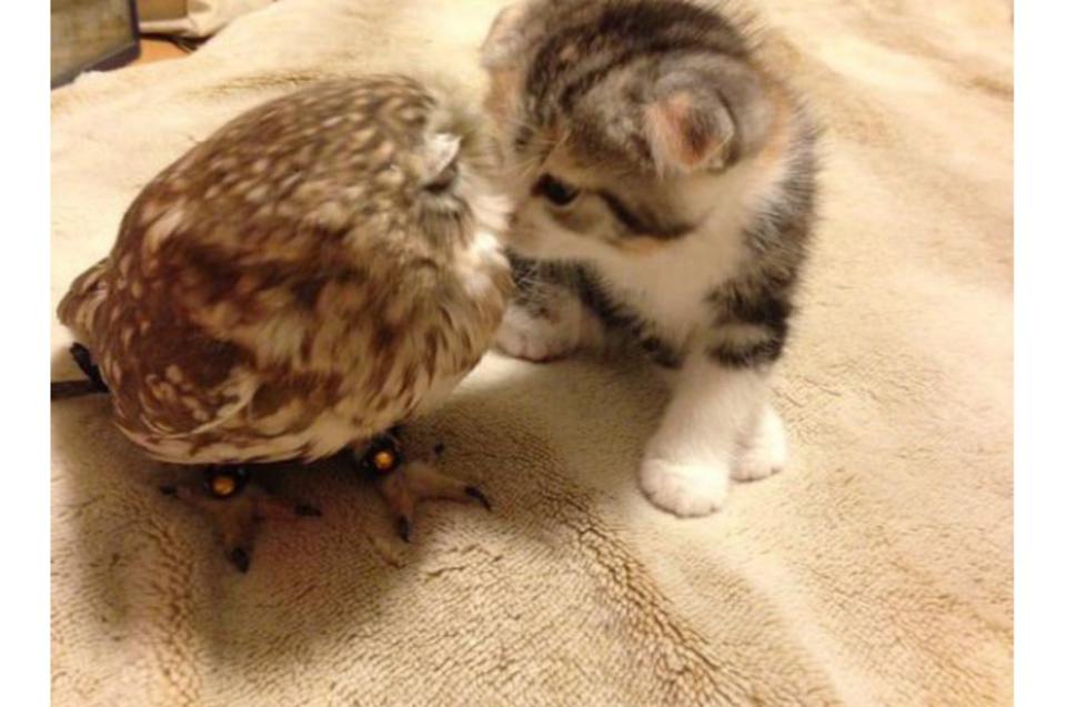 Котенок и сова стали звездами интернета благодаря своей дружбе