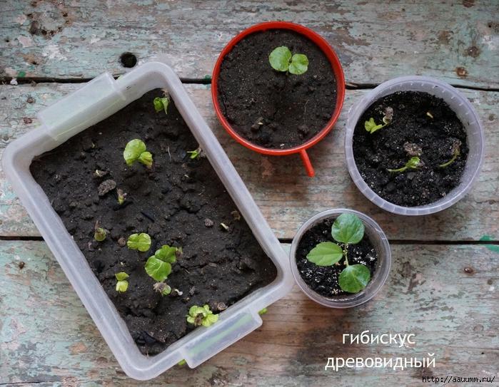 Гибискусы выращивание из семян 26