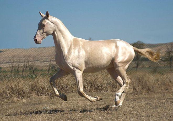 Встречайте самую редкую и красивую лошадь в мире!