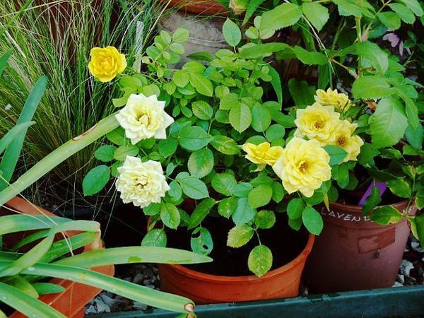 Роза миниатюрная сорт Gold Symphoni, фото сайта forums.gardenweb.com