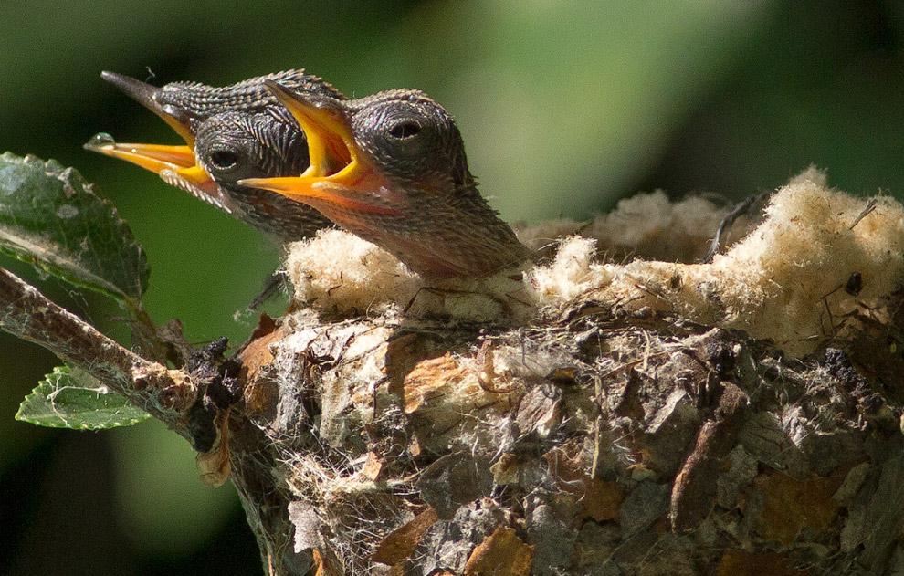 Летопись гнезда колибри: невероятные кадры!