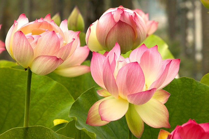 цветы лотоса-04