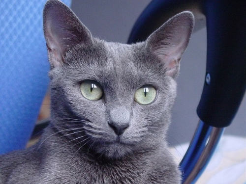 russian-blue-cat-10
