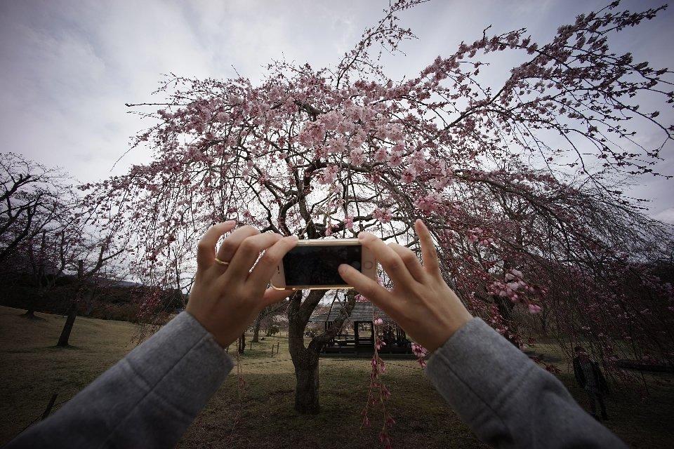 традиция любования цветущей сакурой-20