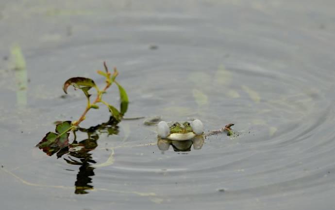 Эстонские волонтеры спасли почти 20 тысяч мигрирующих лягушек от колес машин