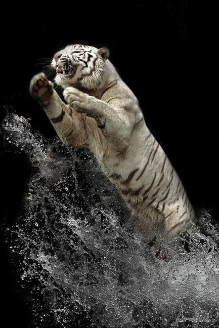 Потрясающие фотографии белых тигров