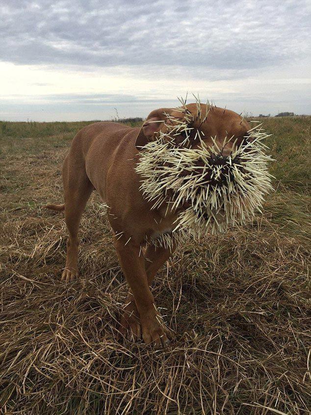 Борода из иголок: крайне неудачная встреча собак с дикобразом дикобраз, животные, собака