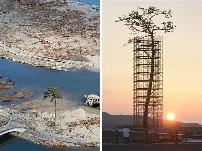 Единственное дерево, пережившее землетрясение и цунами в Японии в 2011 году дерево, живучесть, жизнь, мир, планета, растительность, фото